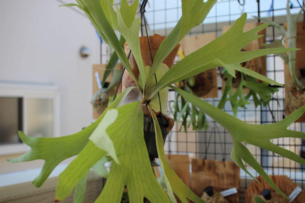 ビカクシダ 鉢植え