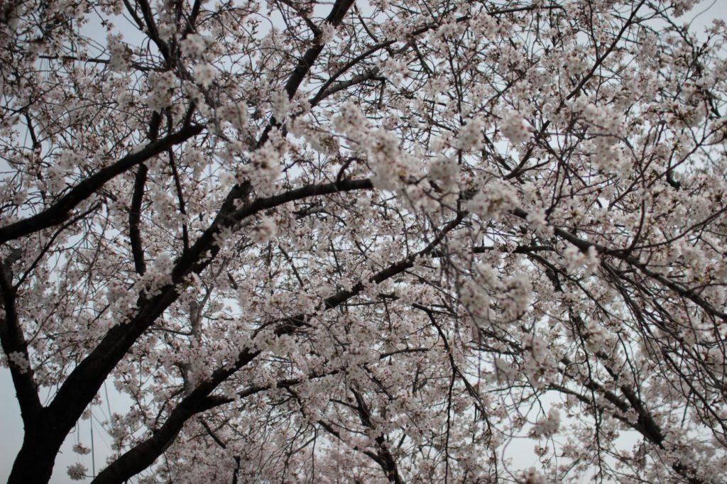 桜 季節 春